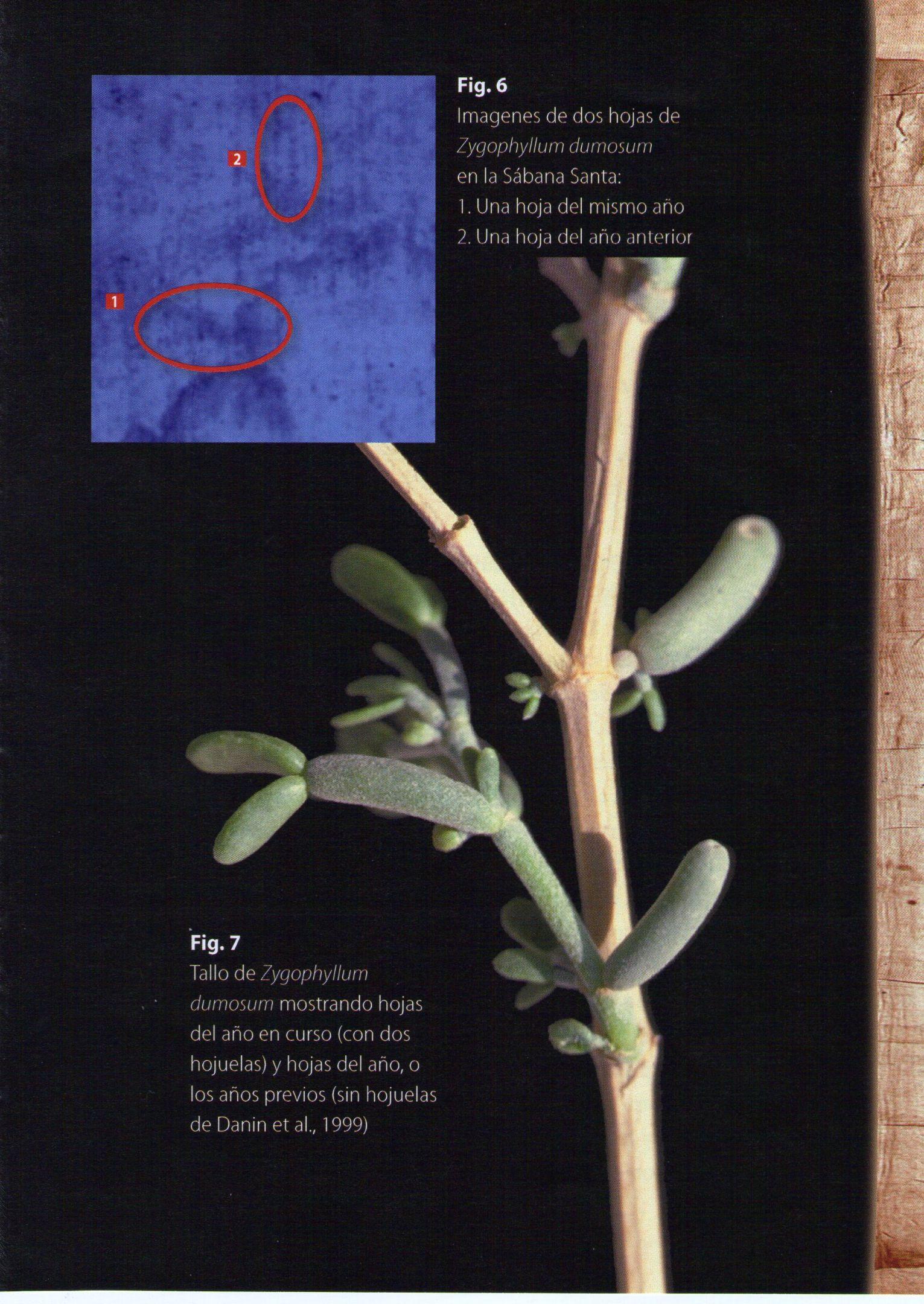 Photo 1. Zygophyllum domosum on the Shroud