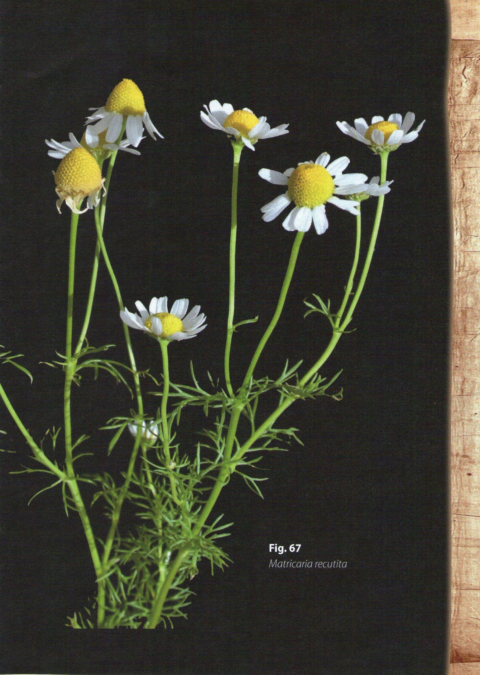 Photo 5. Figure 67 Anthemis bornmuellerii