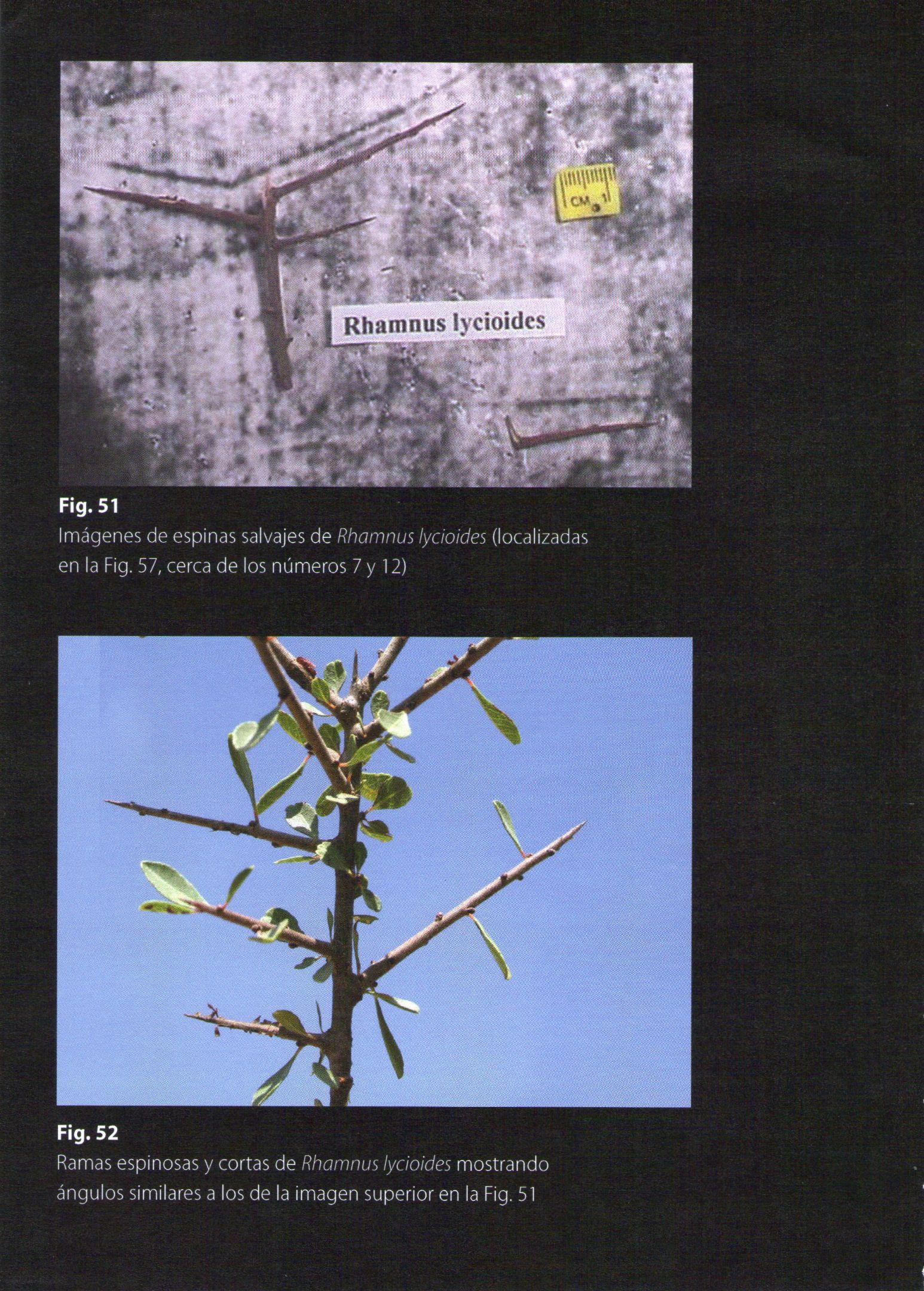Photo 9. RHAMNUS LYCIOIDES thorns