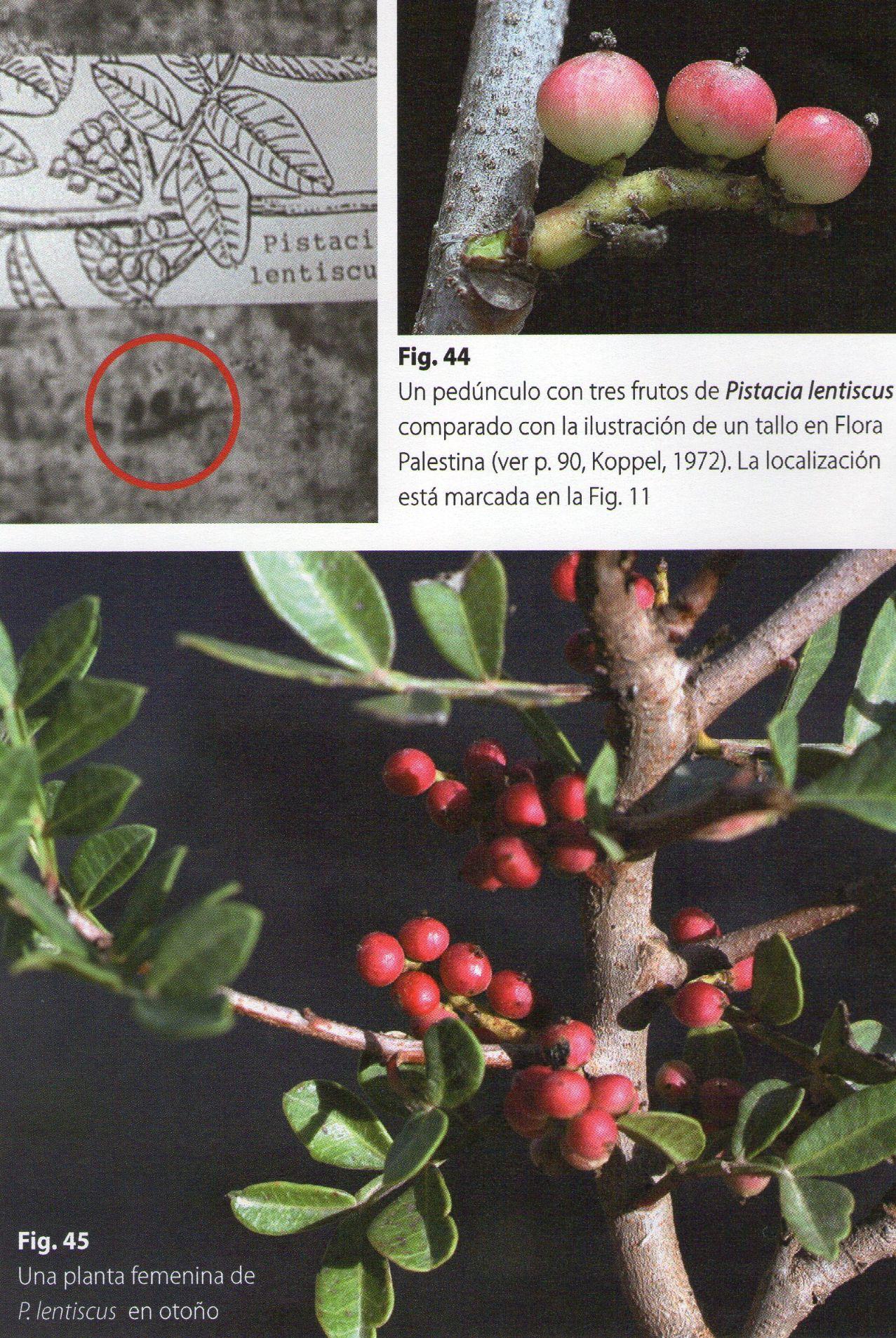 Photo 2. Pistacia lentiscus