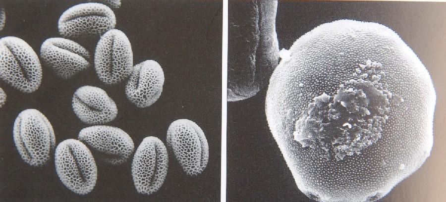 Photo 2. Different Pollen